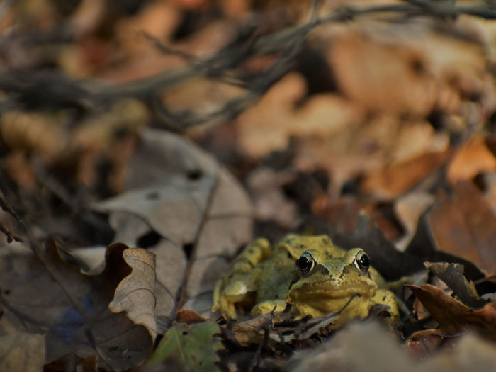 Frog Forest Leaf Animal Animal Wildlife Amphibian Nature Close-up Vertebrate Animal Themes Day Autumn Leaves Animals In The Wild No People Land One Animal Little Tiny Tree Dry Selective Focus Brown Yellow Autumn Light Autumn Mood My Best Photo