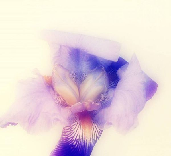Iris Flower Nature Purple Lilac Violet Dreamy Tvc_uc_purple 9Vaga_ColorPurple9 Andthepurplecrayon_ffff Tvc_np_purple Purplecrayon_orange Momswithcameras Mwc_w99 Fyp_wbg