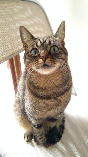 Pets Portrait Looking At Camera Domestic Cat Feline