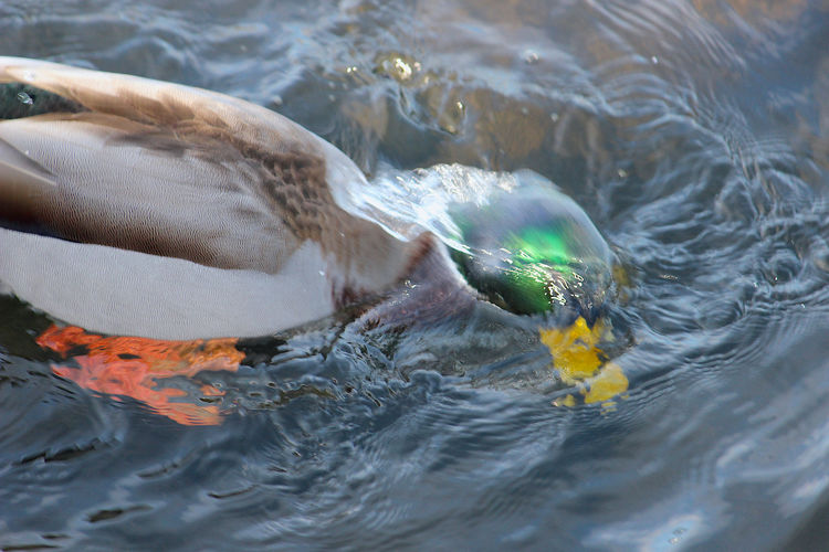 Close-up of duck swimming in sea