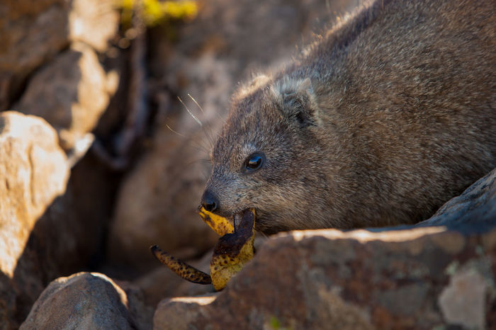 Animal Animal Head  Animal Themes Animal Wildlife Animals In The Wild Close-up Dassie Day Eating Focus On Foreground Food Furry Mammal Nature No People One Animal Outdoors Rock Rodent Solid Sunlight Vertebrate