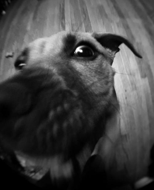 Maxx One Animal Domestic Animals Pets Low Angle View Pitbull Blackandwhite Eyes NY Longisland
