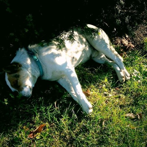 One Animal Animal Themes No People Animals In The Wild Grass Day Nature Outdoors Close-up Mammal Dog❤ Dog Sleeping