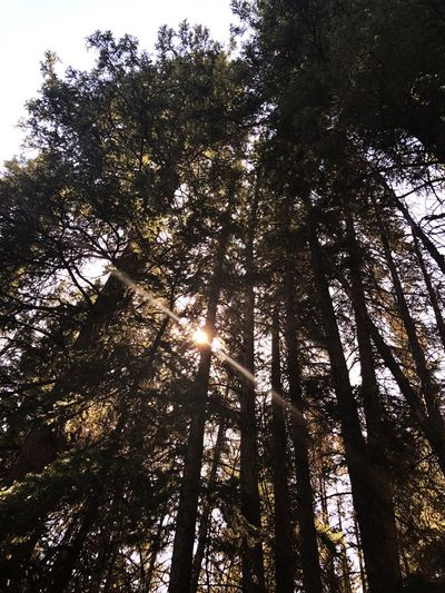 Forest trees 🌲 Tree Plant Low Angle View Growth Tranquility Beauty In Nature Sky Scenics - Nature Forest Day Sunlight Nature Tranquil Scene Silhouette Backgrounds Outdoors