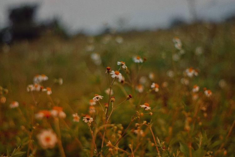 Poppy Wildflower Plant Grass