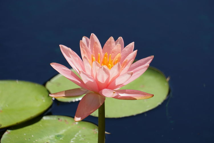 Beauty In Nature Blooming Close-up Floating On Water Flower Flower Head Fragility Freshness Green Color Growth In Bloom Leaf Lotus Water Lily Nature No People Outdoors Petal Pink Color Plant Pollen Pond Single Flower Stem Water Water Lily
