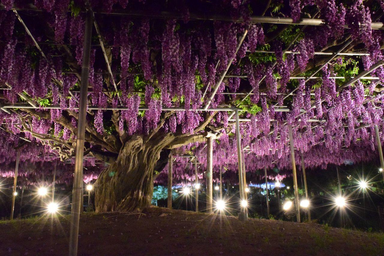 illuminated, night, lighting equipment, purple, beauty in nature, tree, no people, nature, flower, outdoors, star - space, sky