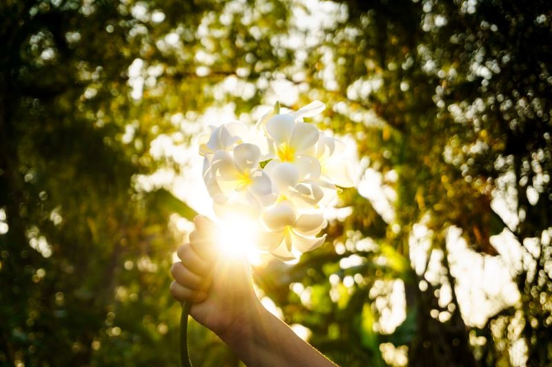 Plumeria flower on hand. For You Gift Sent  Bouquet Flower Bouquet  Still Life Abstract White Yellow Concept Light Fower Plumeria Plant Human Hand Tree Hand Holding Flower Sunlight Flowering Plant Focus On Foreground Nature Day Outdoors Beauty In Nature Vulnerability