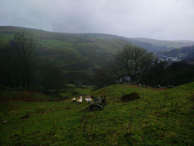 Sheep Schafe Yorkshire Countryside English Countryside Englische Landschaft Sheep🐑