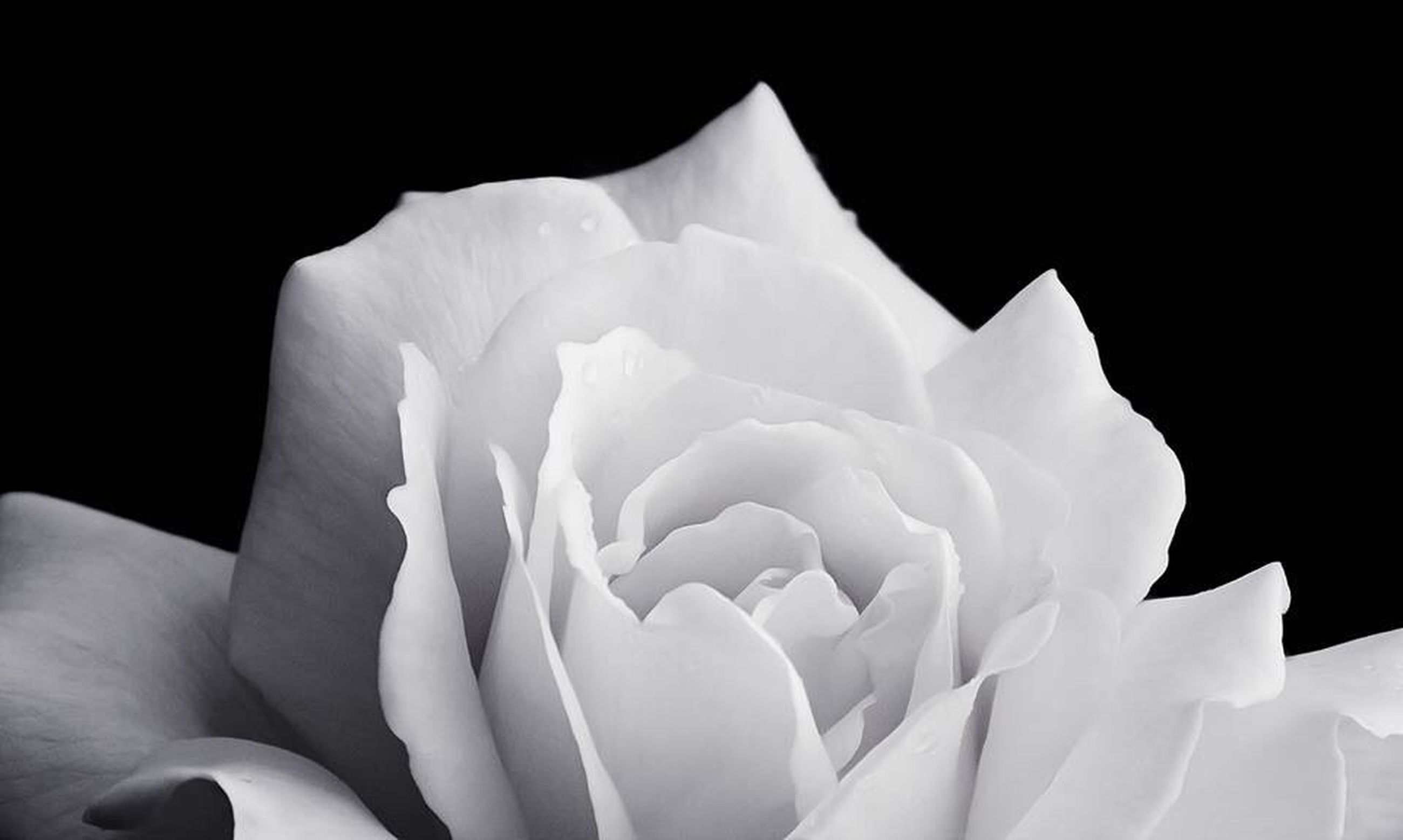 petal, flower, flower head, fragility, studio shot, white color, freshness, black background, beauty in nature, close-up, single flower, white, nature, growth, blooming, copy space, no people, softness, in bloom, bloom