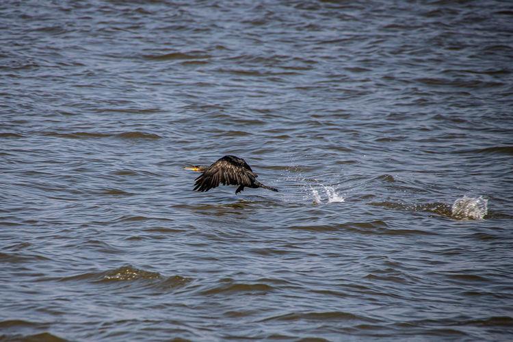Cormorant in