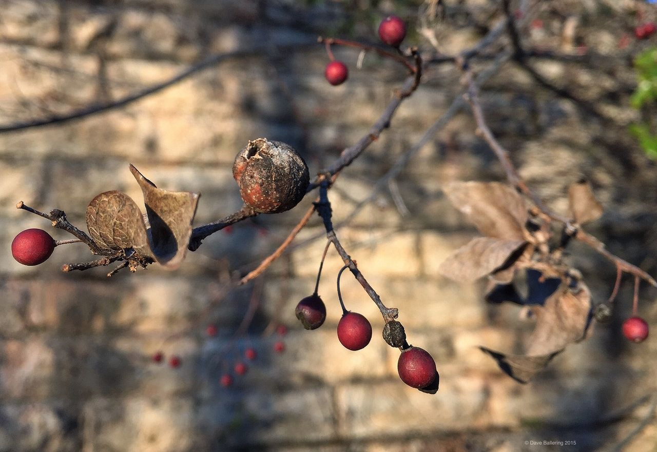 fruit, food and drink, tree, twig, nature, branch, focus on foreground, outdoors, rose hip, day, beauty in nature, close-up, food, no people, growth, freshness, healthy eating
