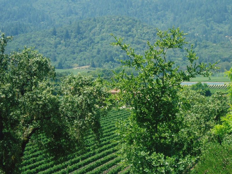 Vineyard Tree Growth Nature Beauty In Nature Agriculture Green Color No People Landscape Tranquility Scenics Plantation Tranquil Scene Outdoors Day Rural Scene Mountain Grape Vine Grape Grapes Winery Napa Valley Wine Moments