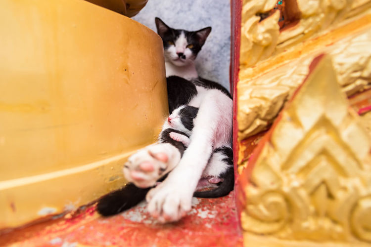Close up small kitten with mother in the temple.Phuket.Thailand Cat Domestic Cat Mammal Feline Domestic Pets Domestic Animals One Animal Relaxation Vertebrate Indoors  Selective Focus No People Sitting Close-up Architecture Whisker