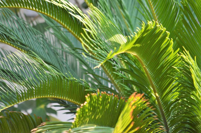 Leaf Green Color Plant Part Plant Growth Beauty In Nature Nature Palm Leaf Close-up Tree Palm Tree No People Tropical Climate Day Frond Backgrounds Outdoors Freshness Lush Foliage Foliage Leaves Rainforest