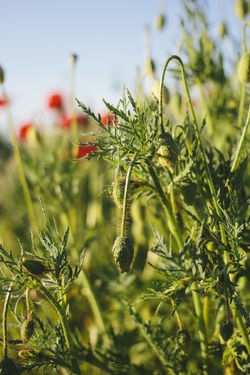 poppies field Grass Green Color Macva Serbia Beauty In Nature Close-up Day Flower Freshness No People Outdoors Petal Poppies Field Real People Summer