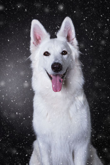 Portrait of berger blanc suisse during snowfall