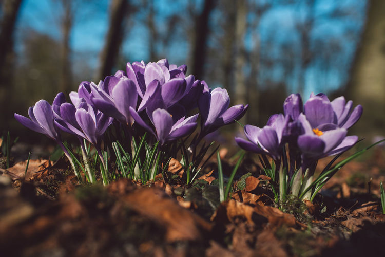 Flowering Plant Flower Plant Beauty In Nature Freshness Growth Vulnerability  Fragility Selective Focus Close-up Land Nature Field Petal Purple Day Crocus Iris No People Outdoors Flower Head