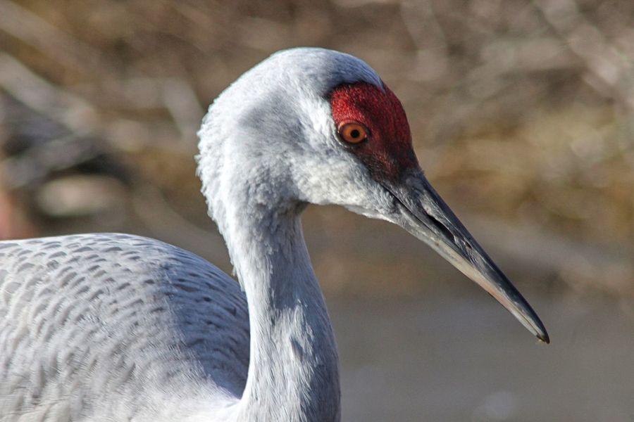 Bird Animal Themes Animals In The Wild One Animal Animal Wildlife Beak Close-up Outdoors No People Nature Day Crane Sandhill Crane