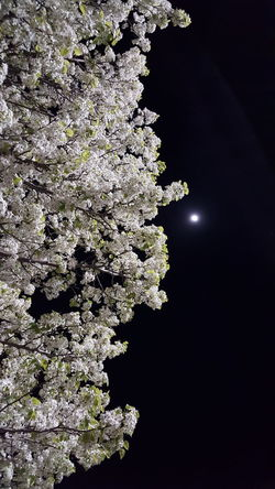 Tree & Moon 1 Tree Blooming Bloom Inbloom Whiteflowers Moon Sky Spring Beautiful Beauty Beautyinnature  Pretty Flowers Nofilter