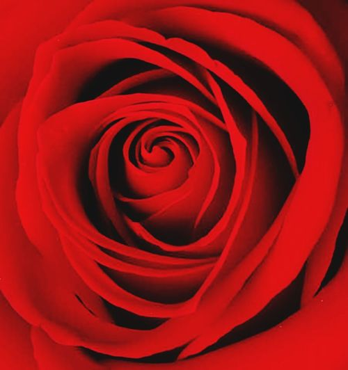 Red Backgrounds Rose - Flower Petal Flower Flower Head No People Beauty Beauty In Nature Nature Close-up Fragility