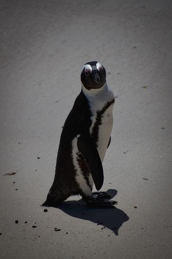 Penguins at