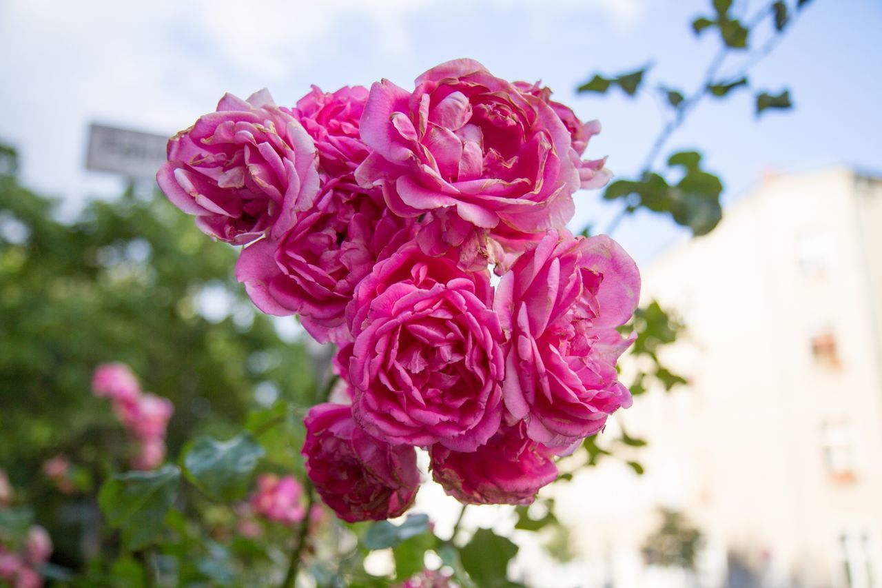 Close-Up Of Pink Roses In Park