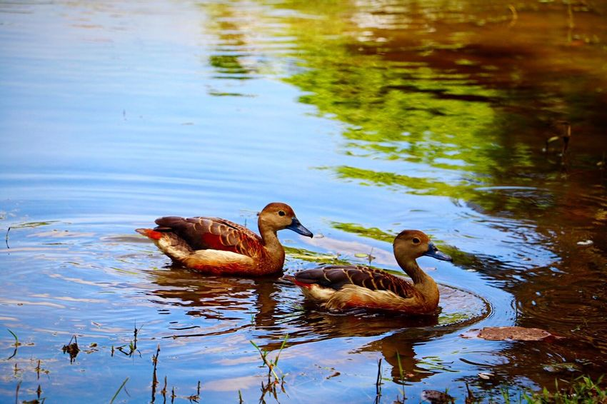 Together Forever ❤ Nature Bird Photography EyeEm Best Shots Wildlife & Nature Duck Couple