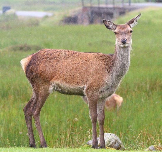 Red Deer Hind Animal Themes Mammal Animal Field Land Grass Animal Wildlife Standing One Animal Vertebrate Domestic Animals Animals In The Wild Plant No People Day Focus On Foreground Full Length Nature Brown Herbivorous Outdoors