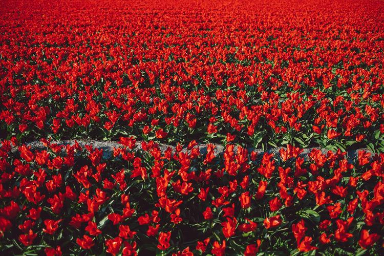 Full frame shot of red tulips on field