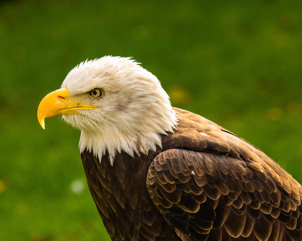Bald eagle photographed at the Bird of Prey Centre, Stonham Barns, Suffolk, UK Bald Eagle Bald Eagle Portrait Bird One Animal Bird Of Prey Animal Themes Eagle Animal Wildlife Animal In Captivity