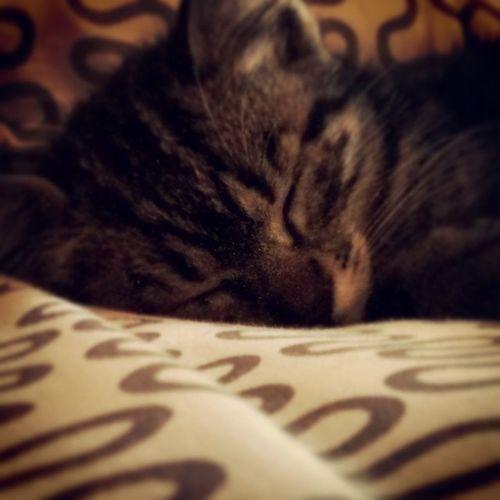 Stanislao Napping Kitten Cat Pisa bed stan stannis