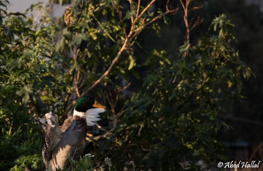 Ducks Taking Photos Animals Nature Morning Lebanon