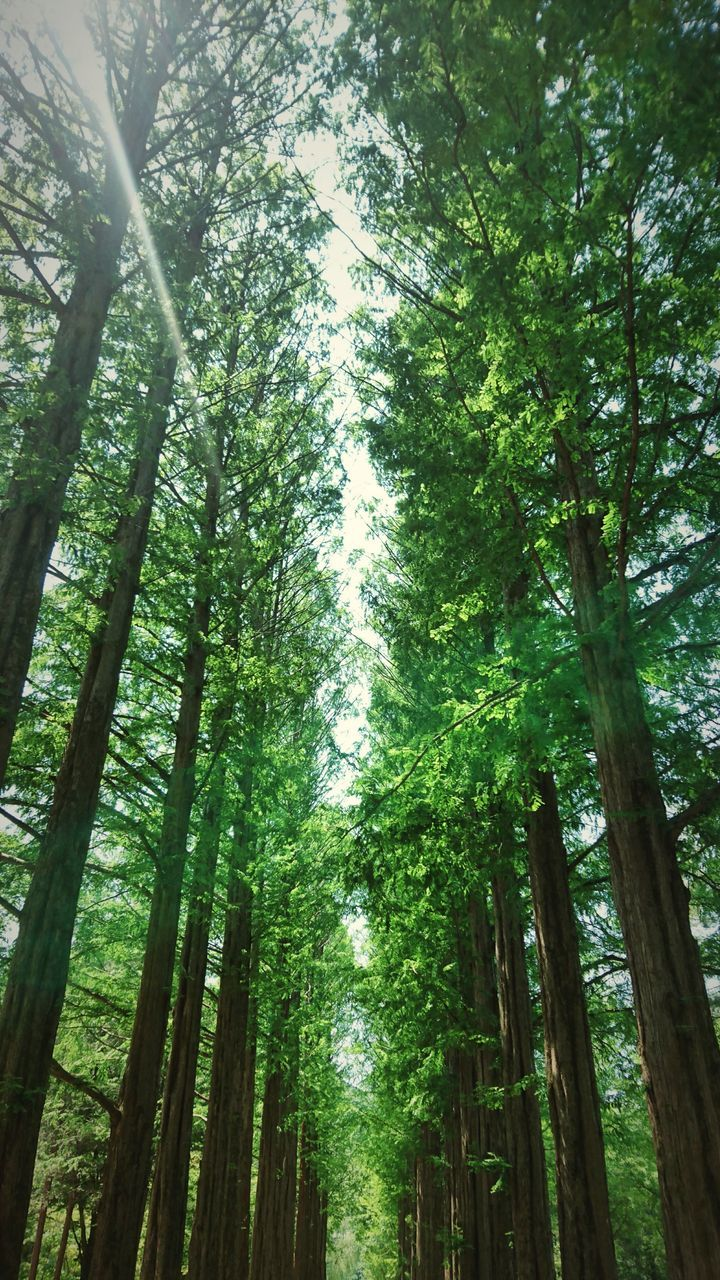 tree, tree trunk, nature, growth, bamboo grove, forest, bamboo - plant, green color, beauty in nature, tall - high, tranquility, low angle view, tranquil scene, day, outdoors, scenics, no people, tree canopy, lush foliage, woodland, branch