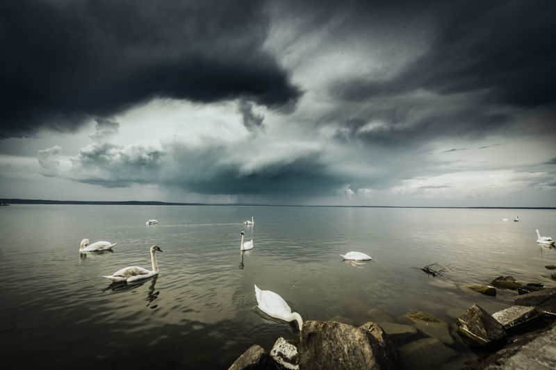 Swans in storm