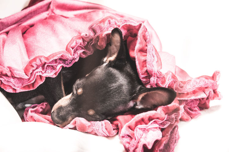 Close-Up Of Dog Sleeping On Fabric Against White Background