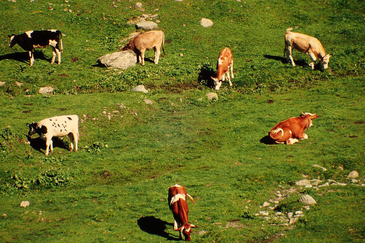 Animal Animal Themes Cows In Nature Day Domestic Animals Grass Large Group Of Animals Livestock Nature No People Outdoors Switzerland