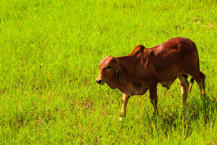 cow is enjoying
