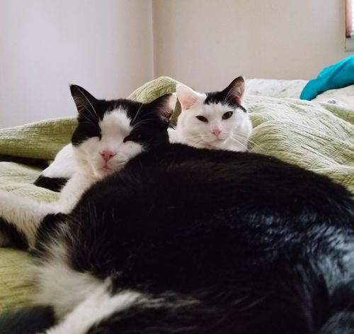 My Boys ♥ Sparrow Master Bentley Bedroom Pets Portrait Bed Domestic Cat Feline Lying Down Looking At Camera Home Interior Relaxation Cat Whisker Napping Sleepy Adult Animal Animal Face