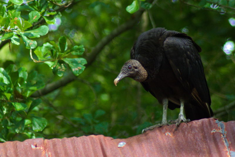 Animal Themes Animal Wildlife Animals In The Wild Beak Bird Bird Of Prey Buzzard  Buzzards Close-up Day Focus On Foreground Nature No People One Animal Outdoors Perching Tree Vulture
