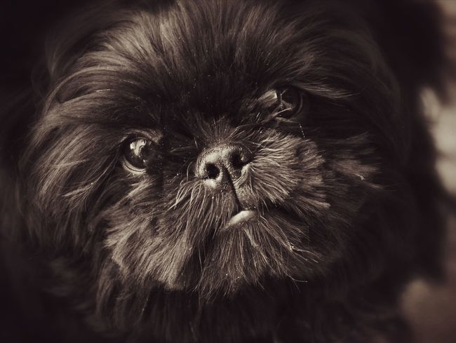 Dogs Dog Love Pets Portrait Looking At Camera Close-up Lap Dog Shih Tzu Terrier Puppy Small Animal Nose Animal Eye Animal Hair Pet Clothing Pampered Pets