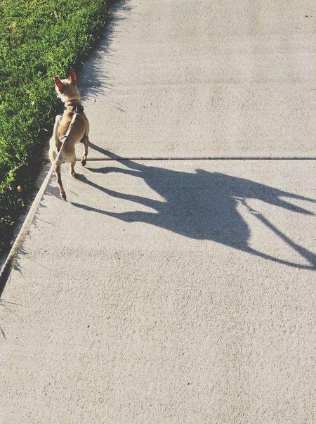 Furchild Otis Chihuahua