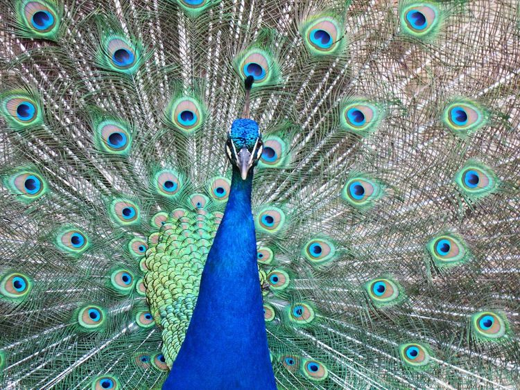 50+ Peacock Pictures HD | Download Authentic Images on EyeEm