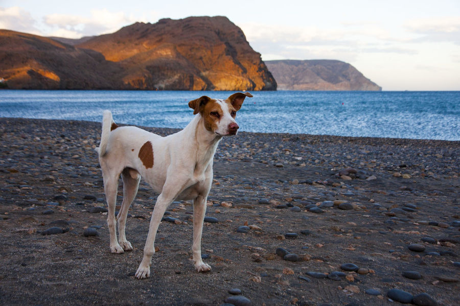 Podenco dog (Canary Islands Hound) at the beach of Las Negras, southern SPain, Andalusia Andalusia Background Beach Dog Domestic Animals Holiday Mammal Mountain Nature Outdoors Pebbles Pets Rock Sand Scenics Sea SP SPAIN Stones Travel Vacations Water