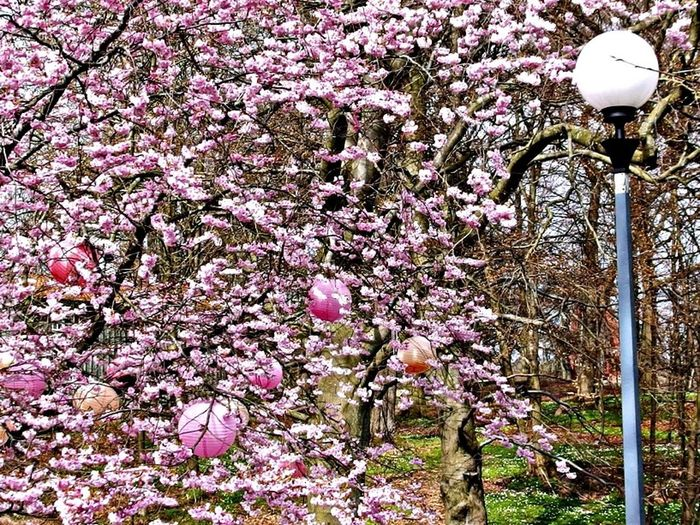 Japanese Lamps and CherryBlossoms in Slottskogen, Gothenburg EyeEm Nature Lover