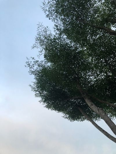 Tree Sky Plant Low Angle View Nature No People Day Beauty In Nature Cloud - Sky Leaf
