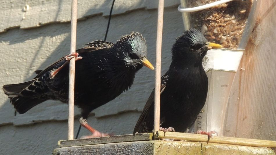 Day Nature No People Focus On Foreground Outdoors Stockton On Tees HUNGRY!!! Fauna Blooming Starlings Bad Boys Feeding