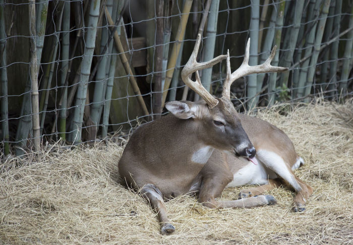 Buck resting in captivity Deer Deer Sighting Resting Place Animal Animal Themes Animal Wildlife Animals In The Wild Antlers Buck Day Deer Moments Domestic Animals Herbivorous Land Lying Around Mammal Mammals Mammals In Nature Mammals, No People, Animal Theme Nature No People Resting Resting Comfortably Resting Time Vertebrate