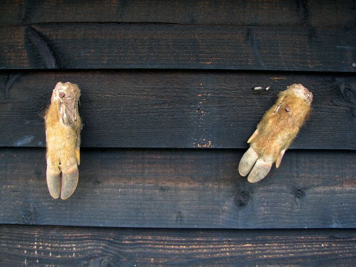 Close-up of wild boar feet nailed on wooden wall
