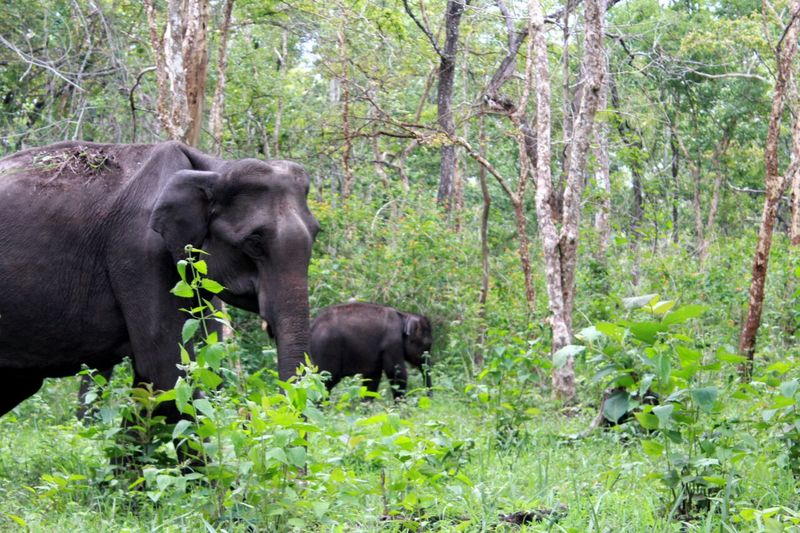 Nature Elephants